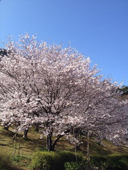 2014年高知の桜