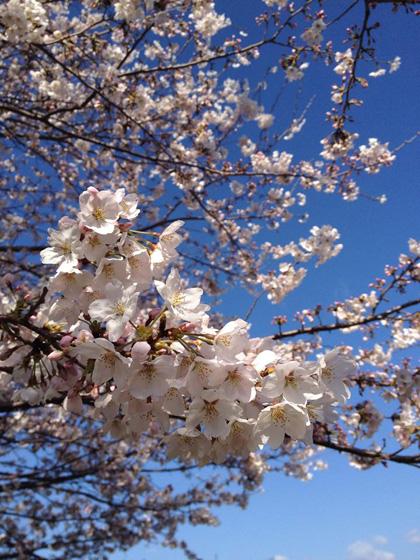 2014年高知の桜満開